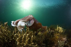 Cuttlefish Diving  Snorkeling EVERYDAY May -August - Accommodation NSW